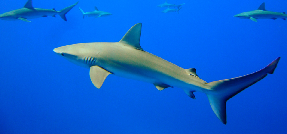 What Happens When Sharks Swim Into Blue Oceans?