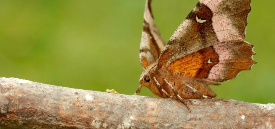 The Silent Ears of a Moth