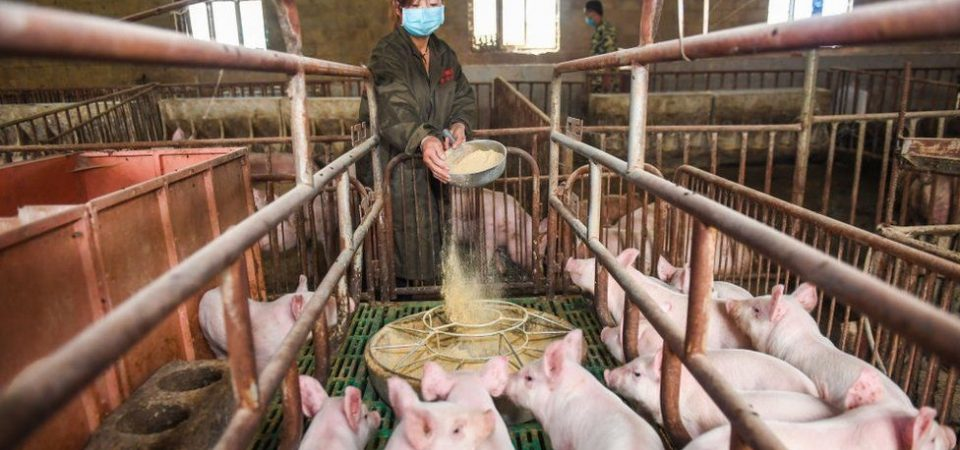 The Huawei's Big Pivot – Pig Farming As Smartphone Business Crashes